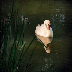 Graceful Swan sunbathing outdoors in the park