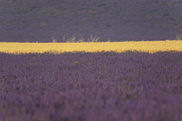 Valensole - Lavender and wheat field close up