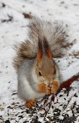 Squirrel sitting on the snow and eatting some food