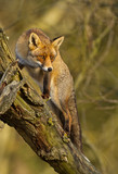 Red fox climbs a tree