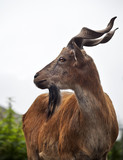 The head and shoulder of a markhor young male.
