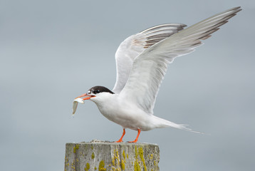 Common Tern, artic tern