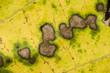 Spots on dead leaf