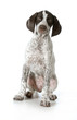 german shorthaired pointer puppy