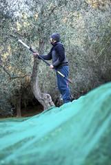 Farm worker harvests olives