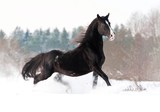 Beautiful black stallion running in winter