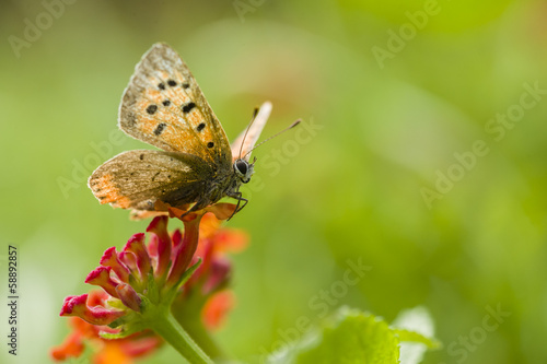 Butterfly on red lantana