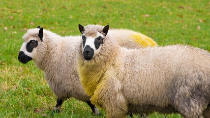 Kerry sheep form Wales