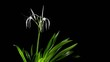 Time-lapse Opening white amaryllis (Amaryllis. Hymenocallis. car