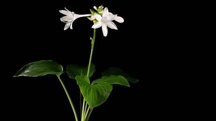 Blooming white hosta on the black background (Hosta. Bressingham
