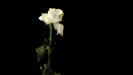 Blooming white roses on the black background, timelapse