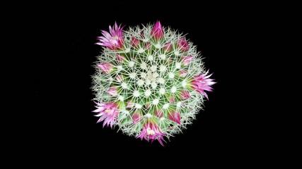 Time-lapse Opening pink Mammillaria (Mammillaria bocasana)