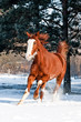 Red horse with white face running gallop in winter