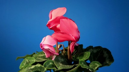 Flowering pink cyclamen on the black background (Cyclamen Latini