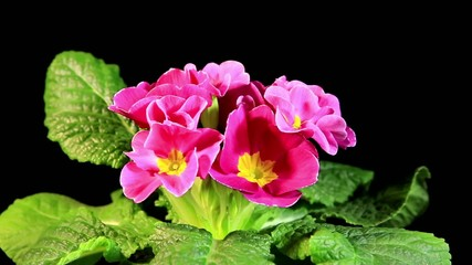 Flowering pink primula on the black background (Primula vulgaris