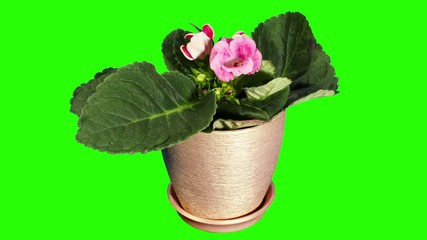 Growth of Gloxinia flower buds green screen, FULL HD  (Gloxinia