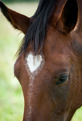 Portrait of amazing bay horse with heart on its forehead