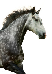 Portrait of grey galloping horse isolated
