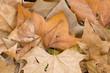 Fallen dead leaves