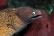White-eyed moray eel (Siderea thyrsoidea)