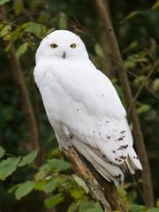 Snow owl resting