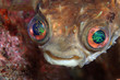 Shortspine porcupinefish (Cyclichthys orbicularis)