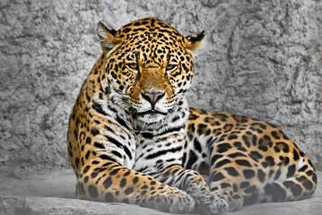 Jaguar (Panthera onca), cat in a cage