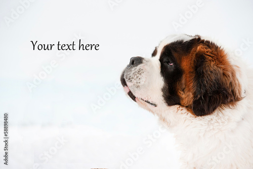 Portrait of dog on white background with your text here writing