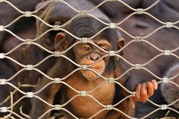 Chimpanzee (Pan troglodytes) sorrowful baby monkey in a cage