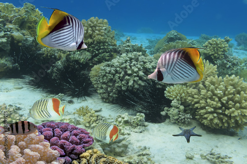 Threadfin butterflyfish and coral reef, Red Sea, Egypt