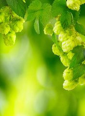 beautiful hops on blurred green background