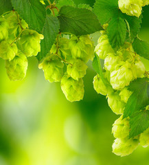 hops on blurred green background