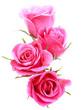 Obrazy na płótnie, fototapety, zdjęcia, fotoobrazy drukowane : Pink rose flower bouquet isolated on white background cutout