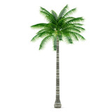 Palm plant tree isolated. Cocos nucifera
