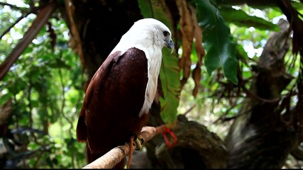 Brahminy Kite. Red-backed Sea Eagle