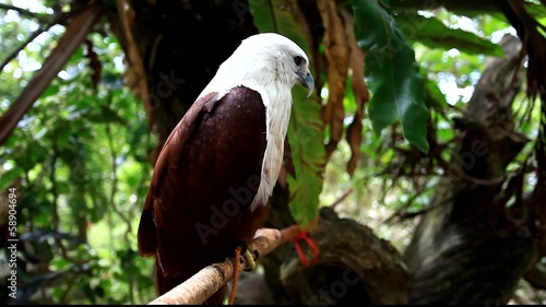 Brahminy Kite. Red-backed Sea Eagle