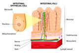Microvilli. Detail of the small intestine. Vector diagram