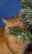 Ginger cat is hiding behind Christmas tree