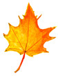 children drawing - autumn yellow maple leaf