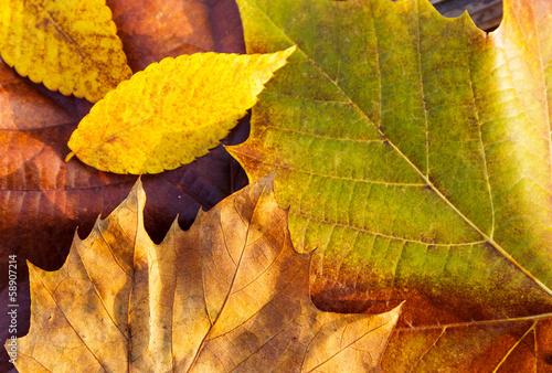 Autumn maple leave