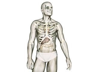 The human body anatomy