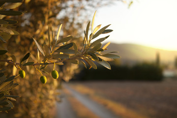 Olive tree and sky.