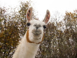 Adult male white Llama (Lama glama) portrait