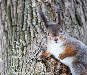 Grey squirrel on tree