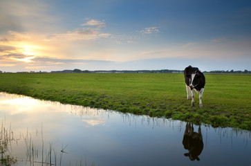 cow on pasture at sunset reflected in river