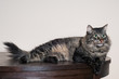 tabby cat resting on the table
