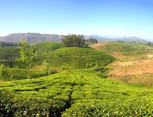 mountain tea plantation in India