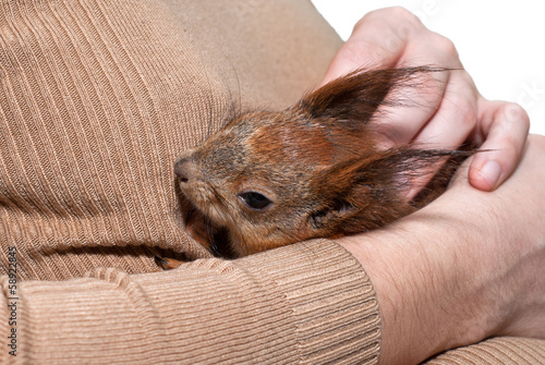 Papiers peints Squirrel Red squirrel lying on hand