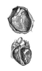 Anatomy : Heart - Cœur - Herz -