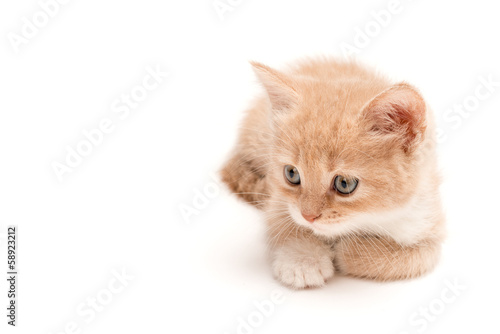 Creamy kitten lying on a white background
